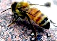 Естественное размножение семей пчел