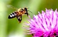 Как делать отводки пчел