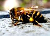 Как пчелы строят соты