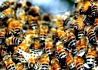 Как происходит развитие пчелы по дням