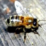 Когда ставят магазины пчелам