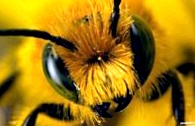 Особенности опылительной работы пчел в теплице
