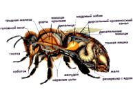 Опыление пчелами огурцов в пленочных теплицах