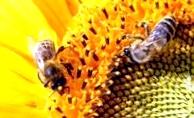 Получаем воск для пчел на пасеке