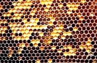 Опыление пчелами помидоров в теплице
