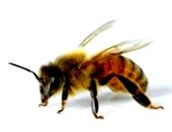 Враги пчел. Птицы питающиеся пчелами