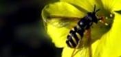 Какое количество обножки приносит пчела в улей за день?
