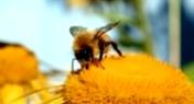 Как пчелы собирают пыльцу растений