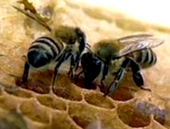 Как сигнализируют пчелы о расстоянии до нектароносов