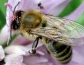 Оставляют ли пчелы принесенную воду в ячейках сотов?
