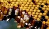 Какие самые распространенные медоносные растения и угодья формируют кормовую базу пчеловодства