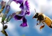 Какая продолжительность жизни пчелы, трутня, матки