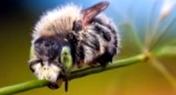 Какие виды клевера используют, как составляющие кормовой базы пчеловодства