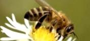 Как определить нектаропродуктивность медоносов