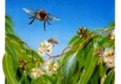 Как получить личинок от материнских пчелосемей?