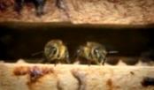 Как стимулировать развитие пчелосемей весной?