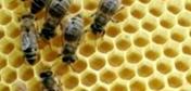 Сколько сотов необходимо пчелосемье во время главного медосбора