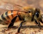 Как определить степень зараженности пчелосемей варроатозом?