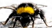 Как пчелы очищают усики