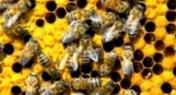 Как с помощью меда бороться против облысения?