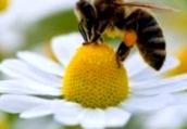 Что представляет собой пчелиный яд?