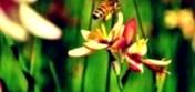 Как улучшить нектароносную базу за счет, выращивания смесей нектароносов с сельскохозяйственными культурами