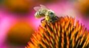 К какие лечебные препараты входит пчелиный яд