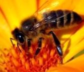 Почему медоносные пчелы живут семьями