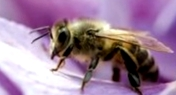 Как перемешиваются пчелы в зимнем клубе?
