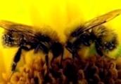 Когда и как следует расширять гнезда пчел искусственной вощиной?