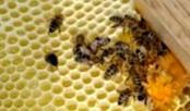 Почему у пчелосемьи появляются пчелы-трутовки
