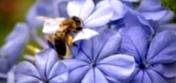 Что следует учитывать при организации опыления сельскохозяйственных культур пчелами