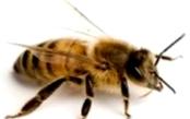 Какие характерные особенности пчел украинской породы?
