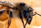 Что представляет собой кристаллизация меда?