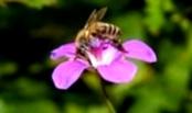 Какие признаки заболевания пчел вирусным параличом?