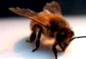 Какие породы пчел являются районированными для различных областей Украины?
