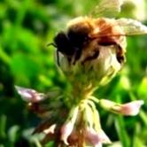 Какие признаки заболевания пчел на браулёз и меры борьбы против него?