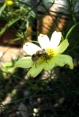 Что представляет собой цветочная пыльца?