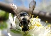 Что такое порода пчел, какие из них наиболее распространены в Украине?