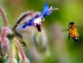 Какие особенности кровеносной системы медоносной пчелы