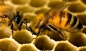 Следует ли усиливать пчелосемьи перед медосбором?