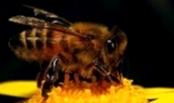 Как влияет роение на производительность пчелосемей?
