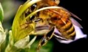 Как перемещаются пчелы зимнего клуба по сотам?