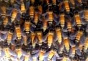 Когда рой возвращают обратно в пчелосемью?