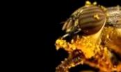 Что такое мелеоз пчел и как с ним бороться?