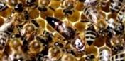 Какие признаки заболевания пчел на филаментовироз и меры борьбы с ним?