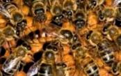 В чем суть подсадки матки с применением ароматизации гнезда пчел?