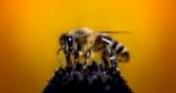 Меры борьбы с мешковатым расплодом пчел?