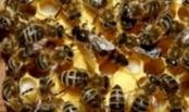 Что вызывает пчелиные кражи?