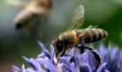 Какое значение имеет последний облет пчелосемей перед зимовкой?